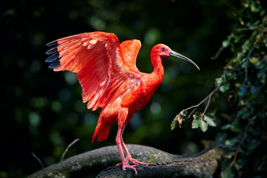 Red scarlet ibis bird aka Eudocimus Ruber with outstretched wings
