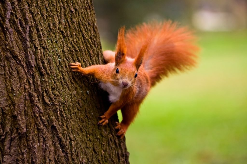 Red squirrel on a tree in nature