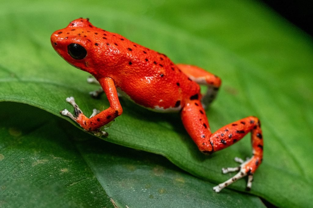 Red Strawberry Poison Dart Frog from Bocas del Toro in Panama