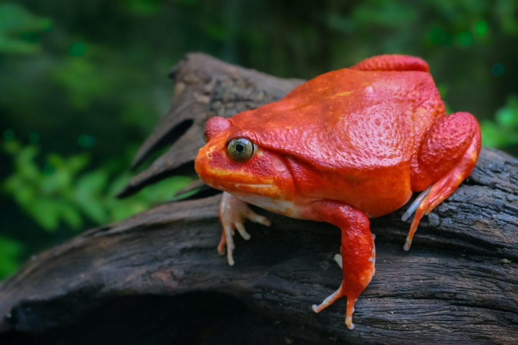 Red tomato frog from Madagascar sitting on wooden log in nature