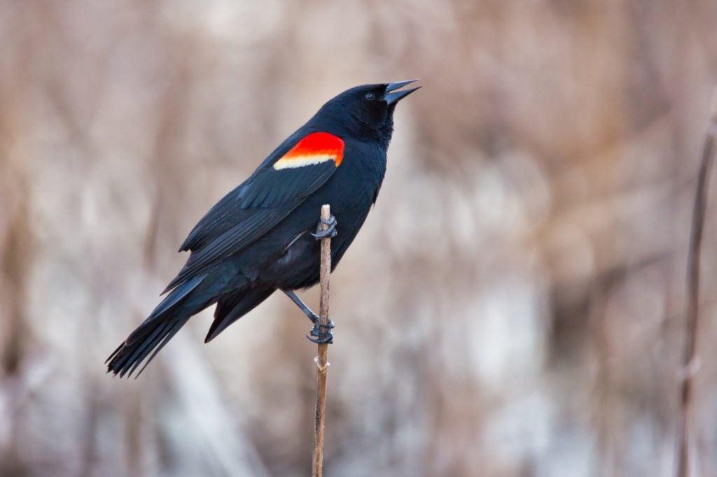 Red-winged blackbird aka Agelaius Phoeniceus