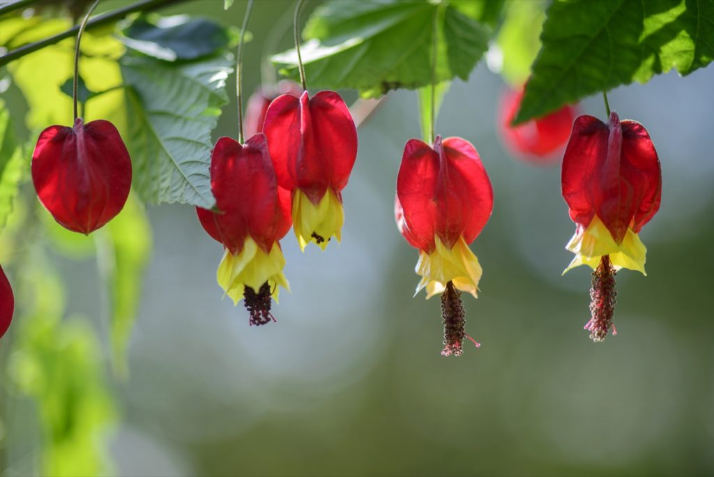 Red and yellow Chinese lantern flowers