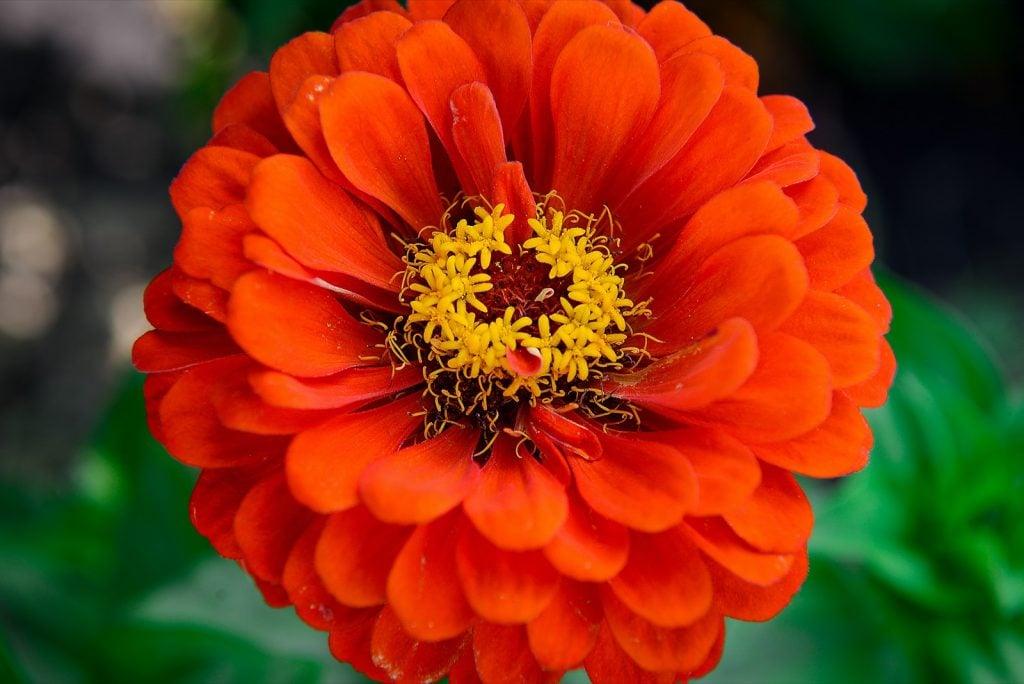 Red zinnia garden flower close up