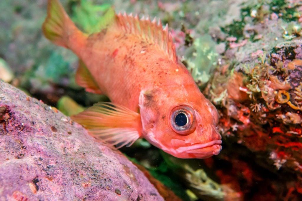 Reddish perch in the Atlantic Ocean