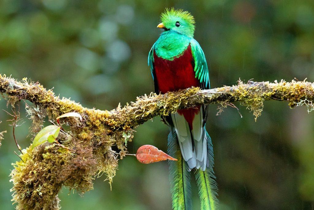 Resplendent quetzal aka Pharomachrus Mocinno in rainy forest
