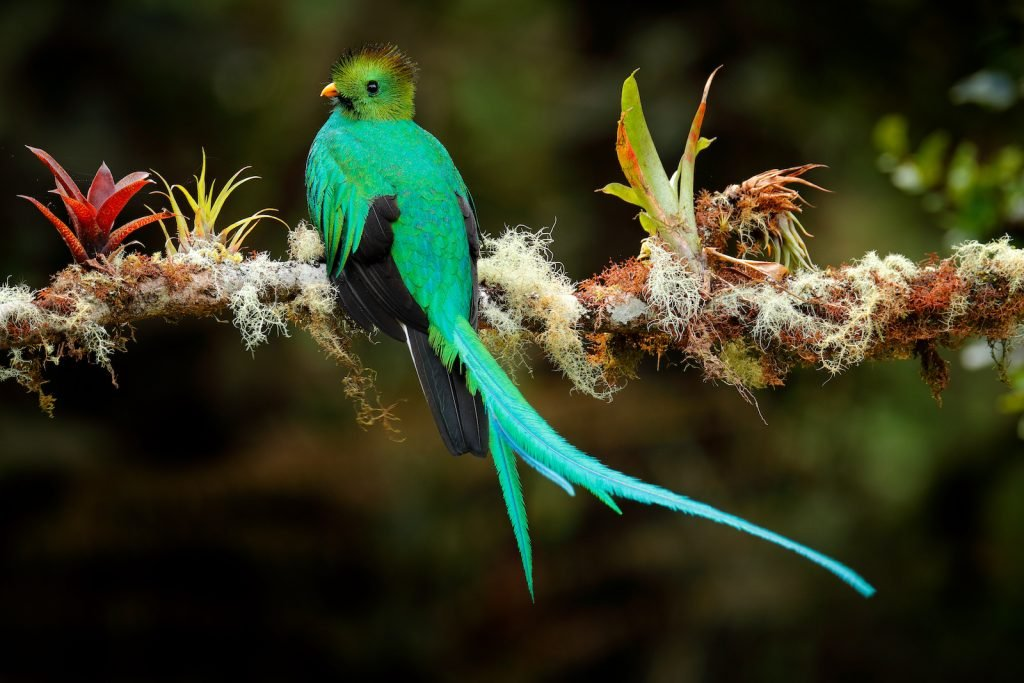Resplendent Quetzal bright green and red bird sitting on a branch in the forrest