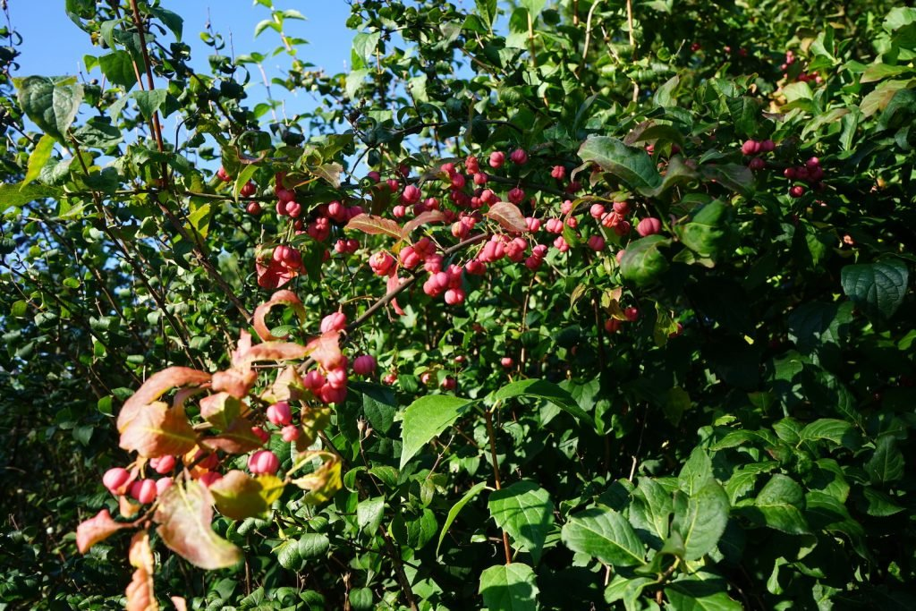 Ripe riberries hanging from a tree