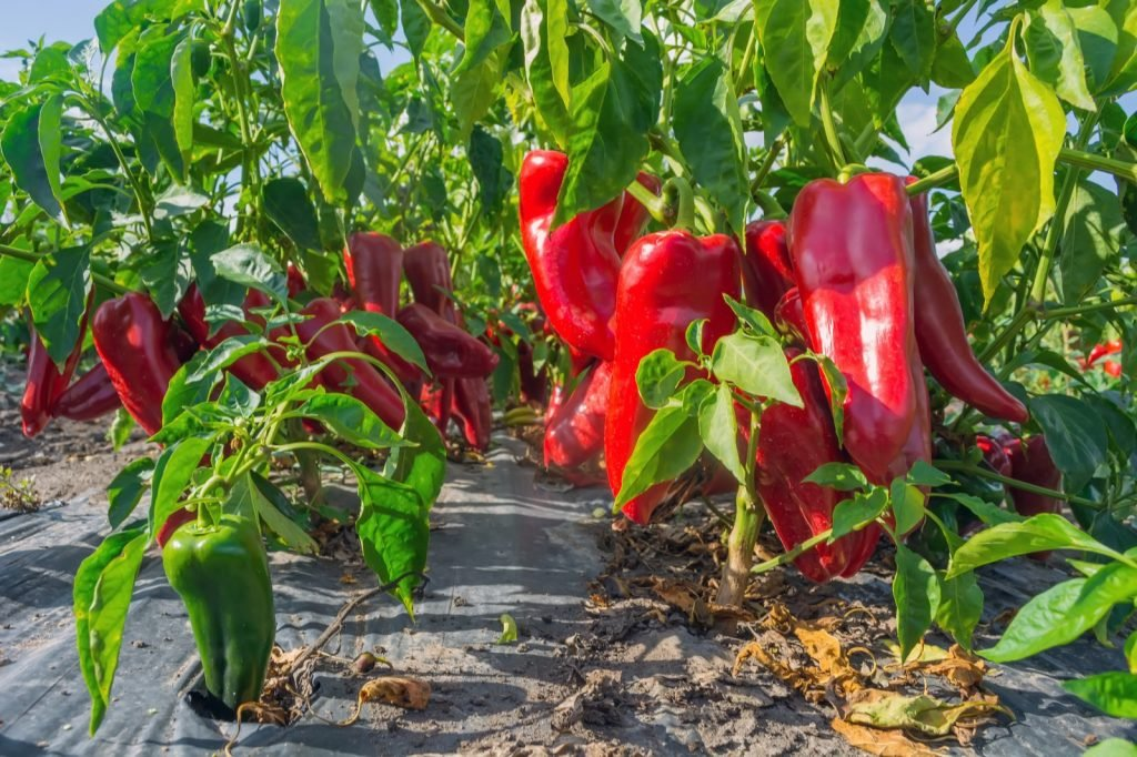 Ripe paprika peppers on the field at harvest time