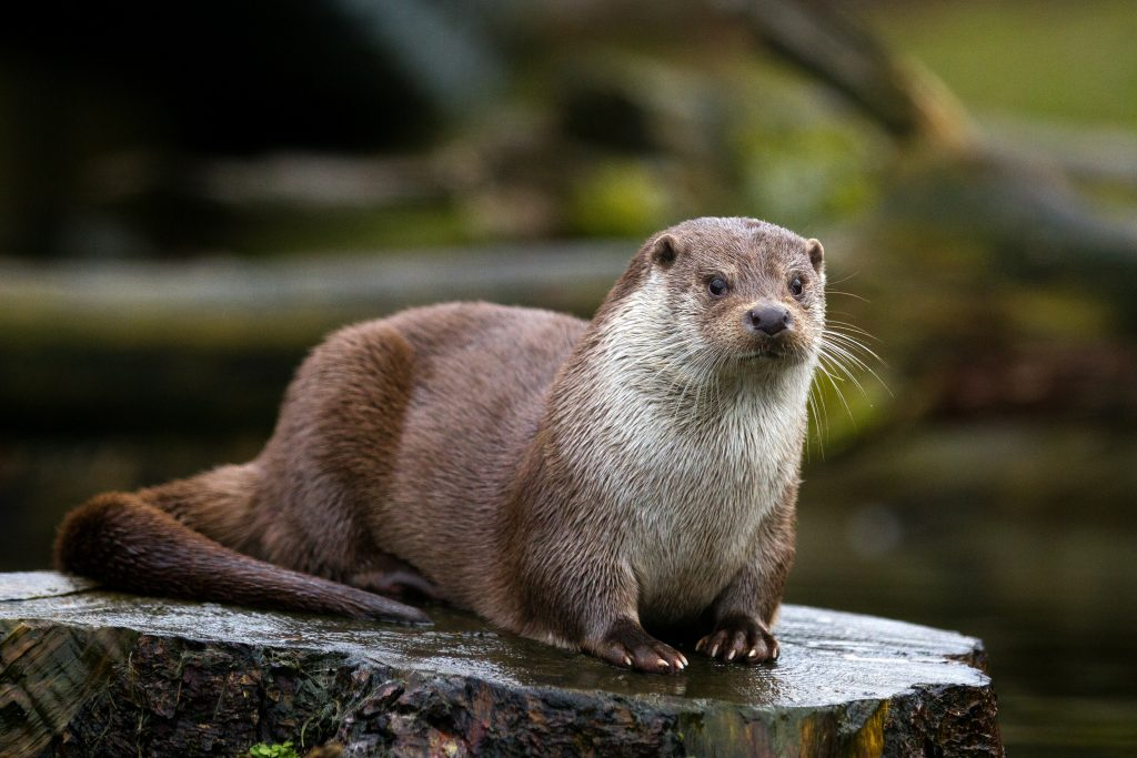 Close up of river otter sitting on a wet tree stump