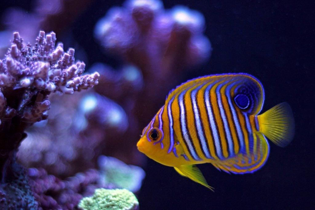Royal angelfish aka Pygoplites Diacanthus in tropical ocean