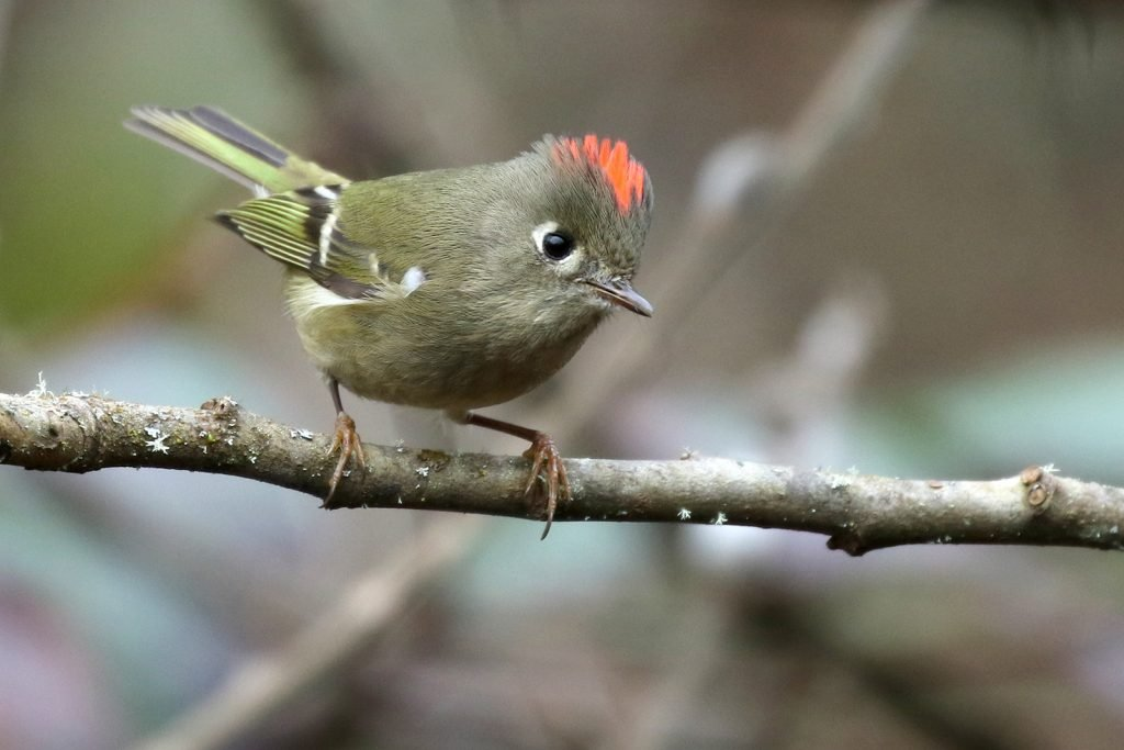 Male ruby-crowned kinglet perched on a tree branch