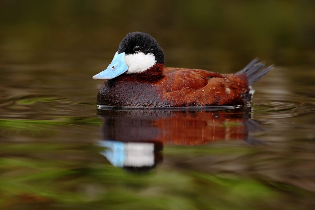 Brown Ruddy Duck male in the water