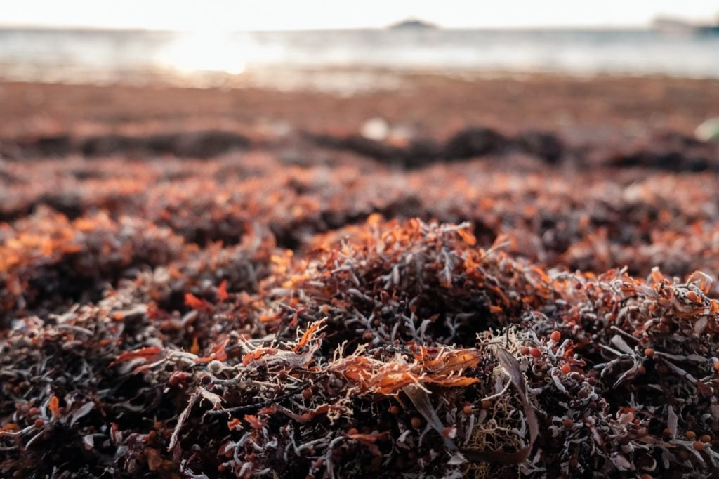 Sargassum seaweed piled on the shore of the Caribbean sea