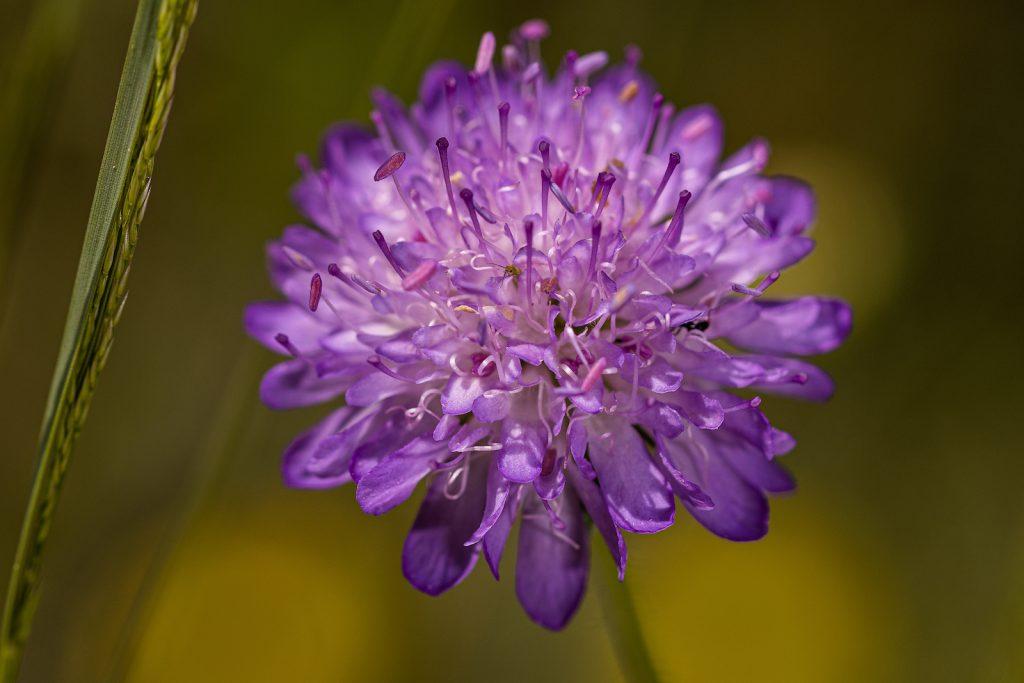 Closeup of an purple Scabiosa flower head