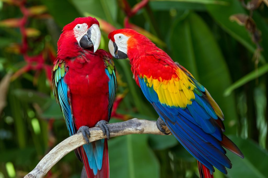 Couple of scarlet macaws aka Ara Macao in the wild