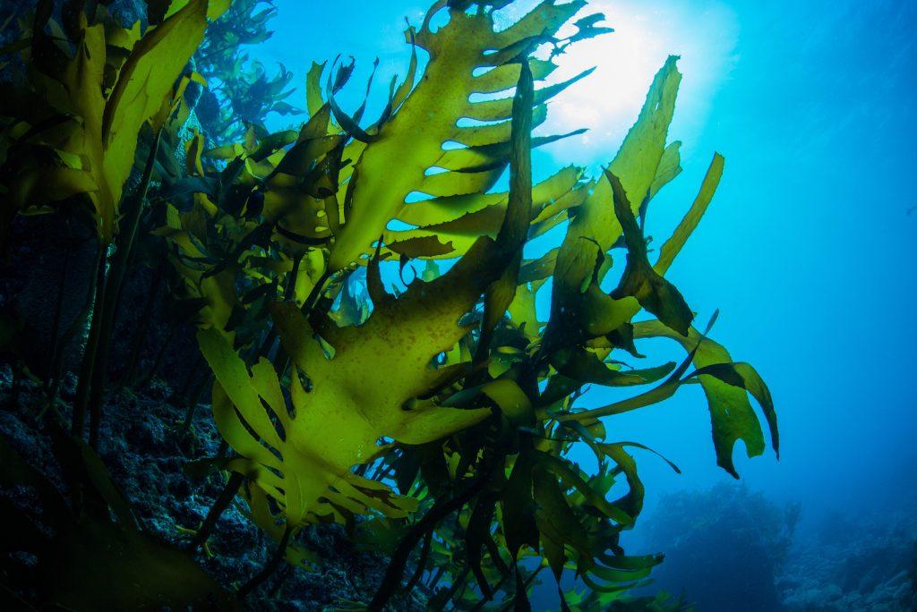 Underwater closeup of green seaweed