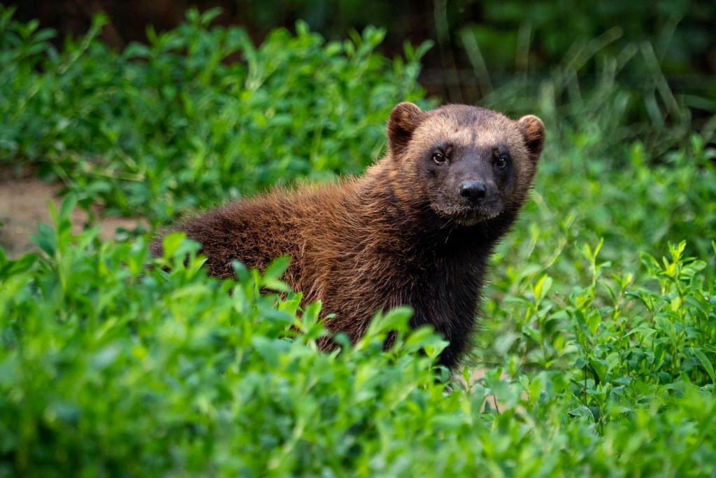 Siberian wolverine surrounded by green nature in the forest