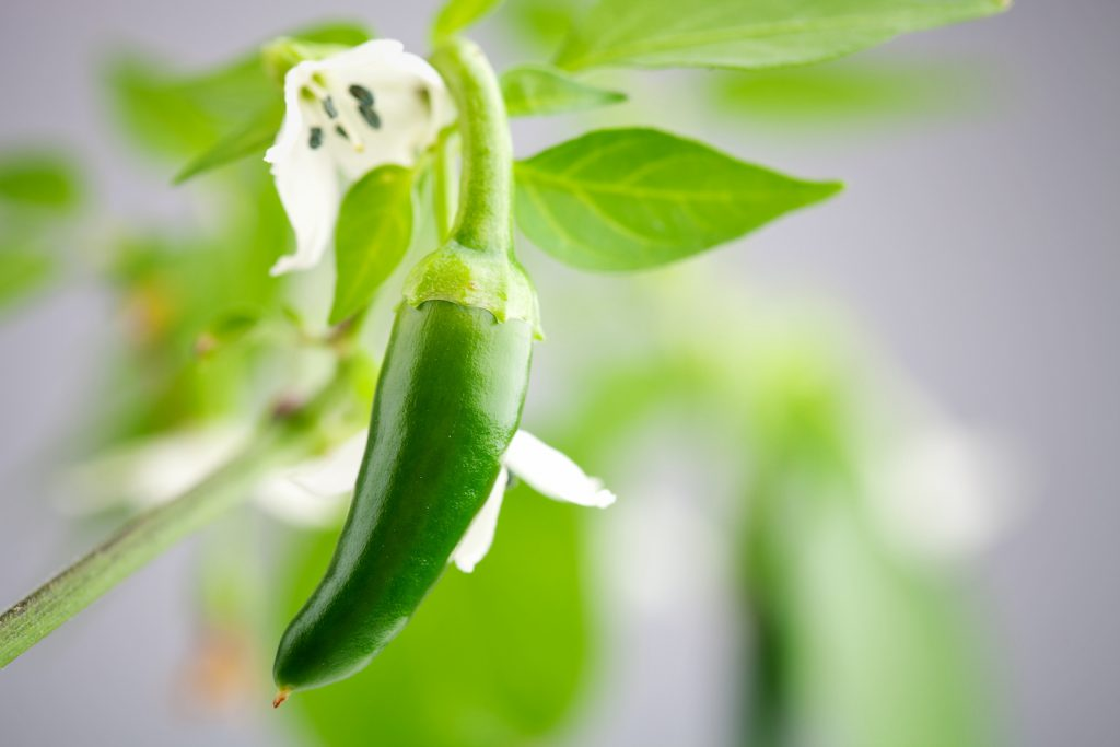 close up of green serrano chilies growing