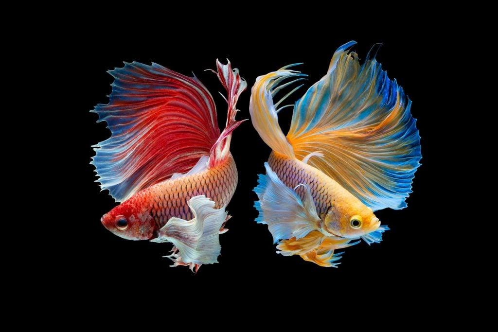 Two siamese fighting fish aka Betta Splendens from Thailand