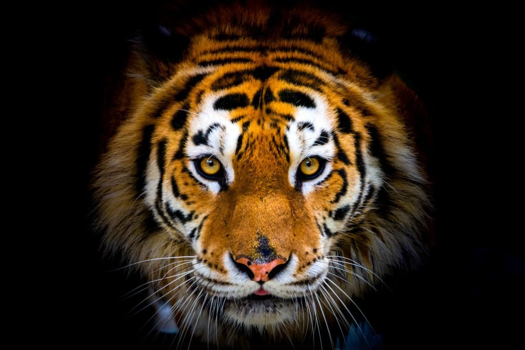 Closeup of a Siberian tiger head that stares directly into the camera