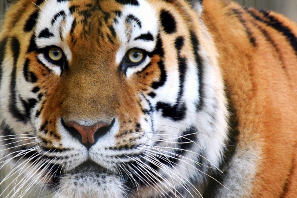 Close-up of bright orange Siberian tiger aka Panthera Tigris Altaica