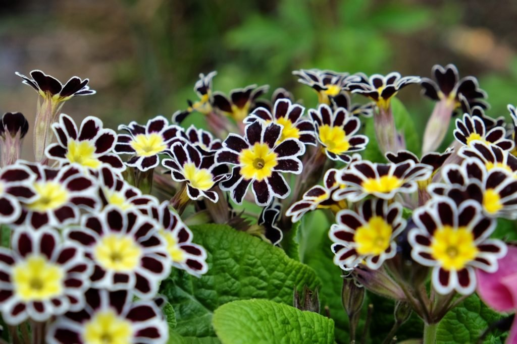 Silver-laced primroses or primula flowers