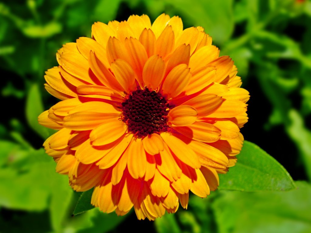 Closeup of a single calendula flower head in a garden with blurred green leaves in the background