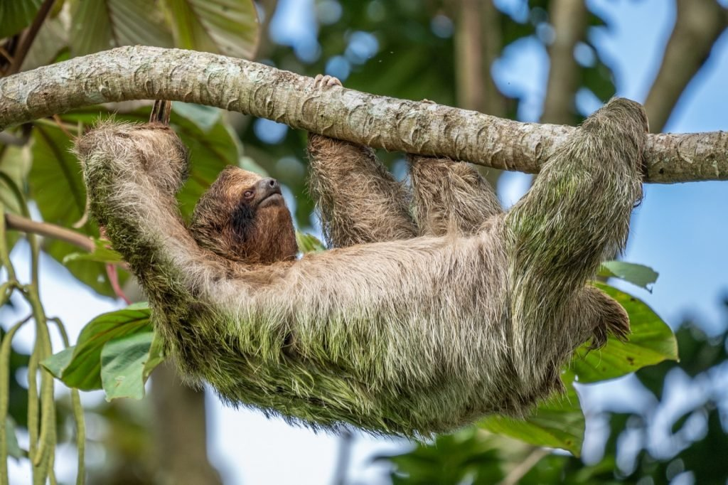 Sloth with green fur hanging from a tree in the Costa Rican jungle