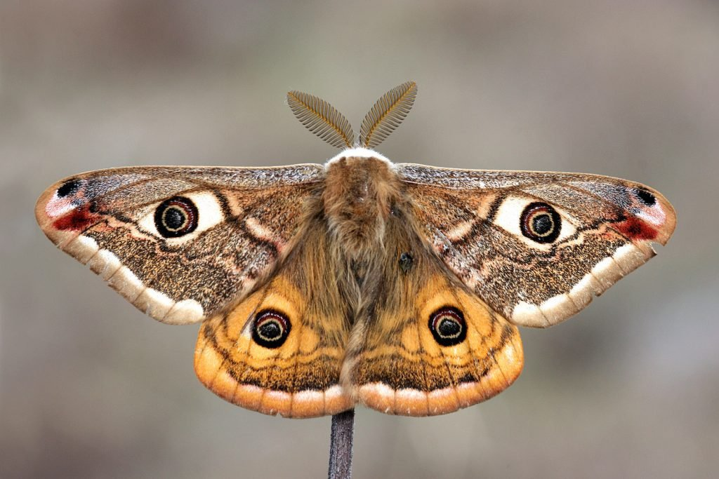 Close up of a small emperor moth with open wings showing off its defense mechanism