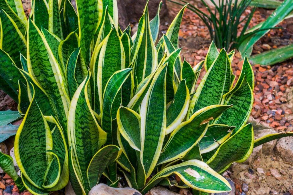 Big snake plant in a tropical garden