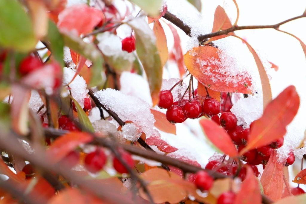 Snow covered red chokeberries and scarlet leaves