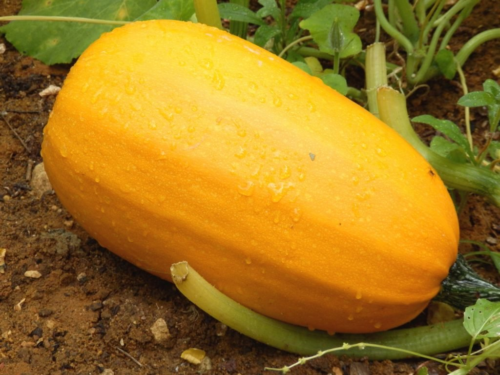 Spaghetti squash covered in raindrops lies in the field waiting for harvest