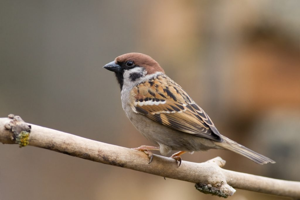 Small brown sparrow sitting on a branch with a blurred background