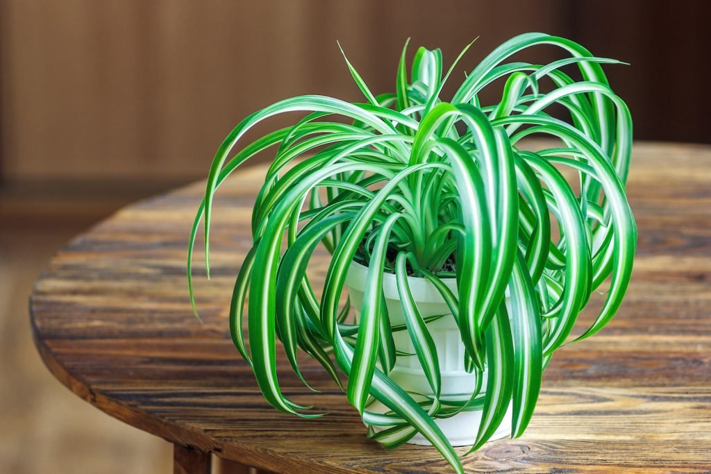 Green spider plant standing on a wooden table