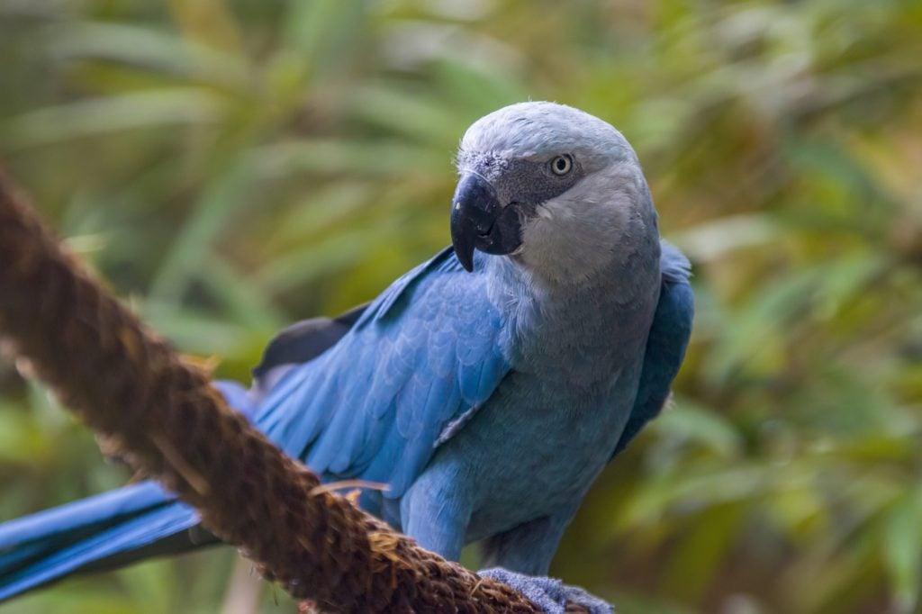 Rare blue Spix's macaw native to Brazil