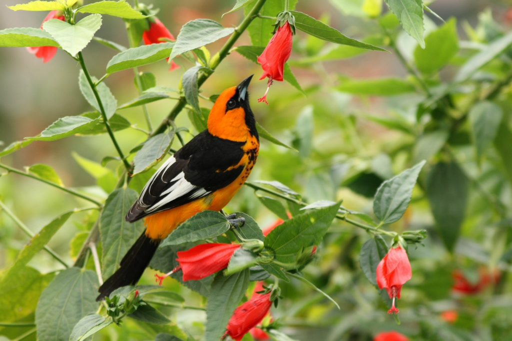 Spot-breasted Oriole sitting on a small branch on a hibiscus flower plant