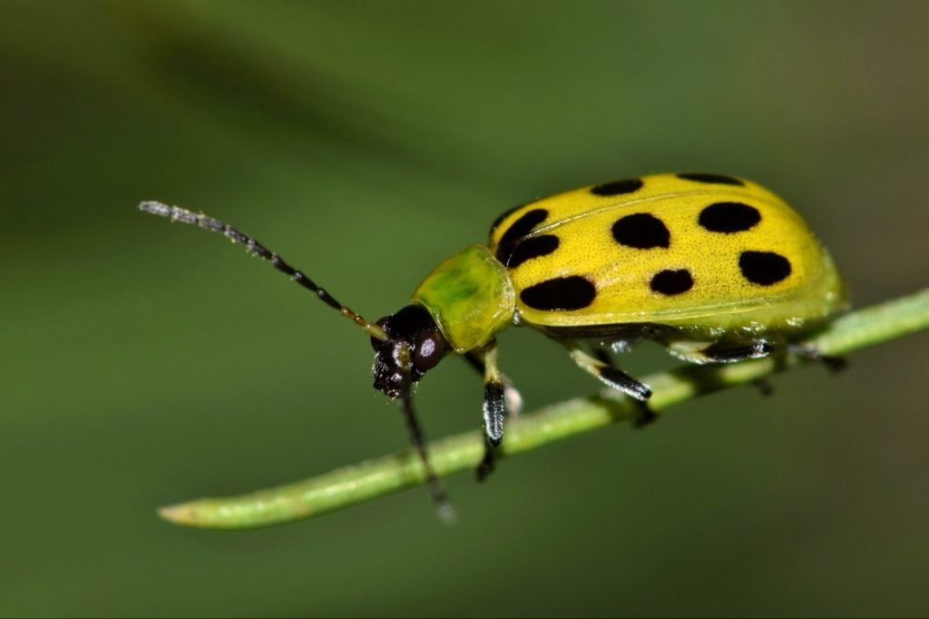 Yellow and black spotted cucumber beetle on a pine needle
