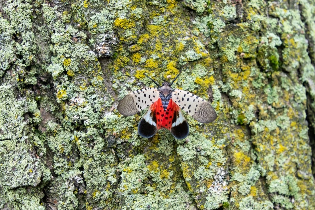 Spotted lanternfly aka Lycorma Delicatula with bright red underwings