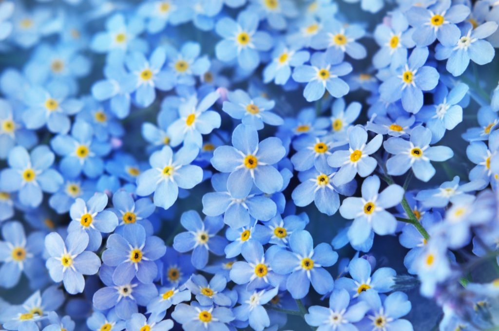 Spring blue Forget-Me-Nots flowers photographed with selective focus