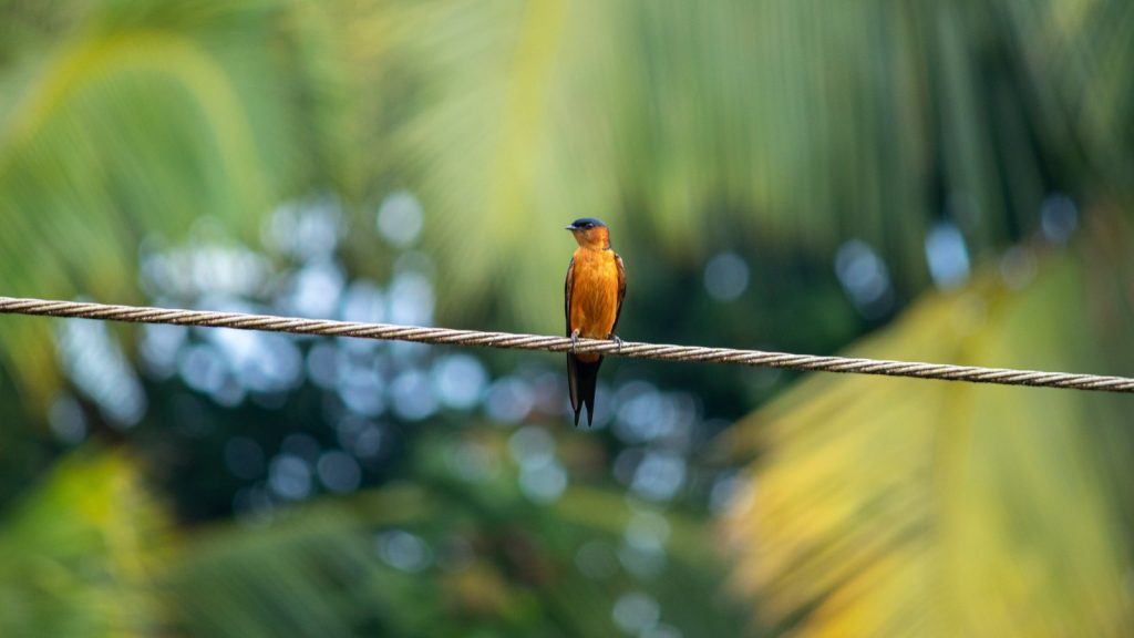 Sri Lanka Swallow bird with bright orange color body that stands out immediately in the daylight