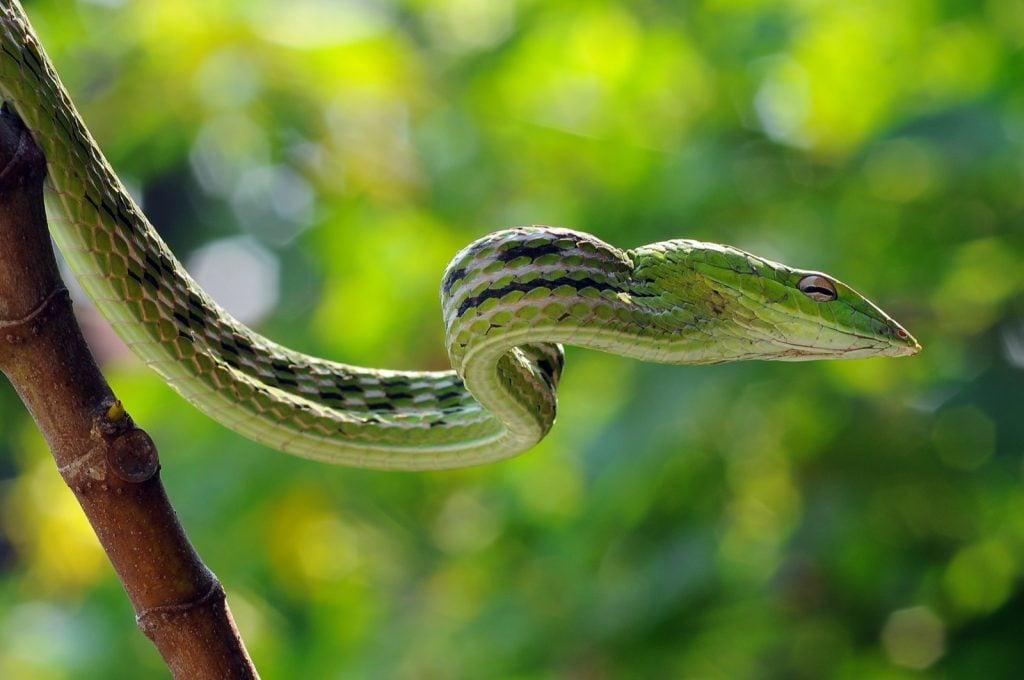 Sri Lankan green vine snake aka Ahaetulla Nasuta in a tree