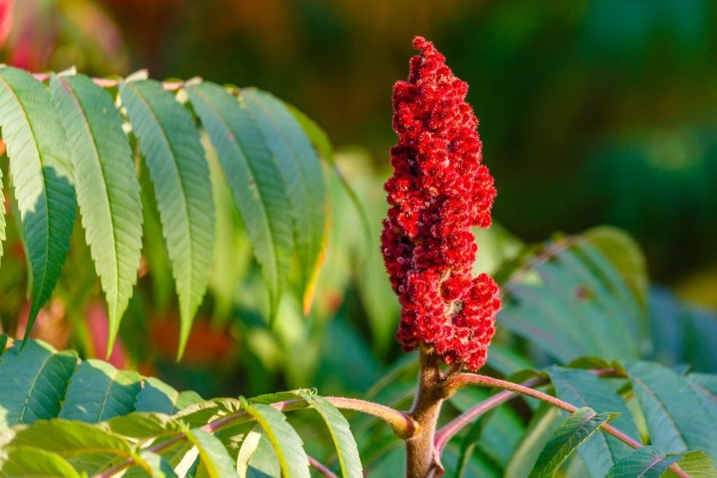 Staghorn Sumac or Rhus typhina with red drupe blossoming in late summer