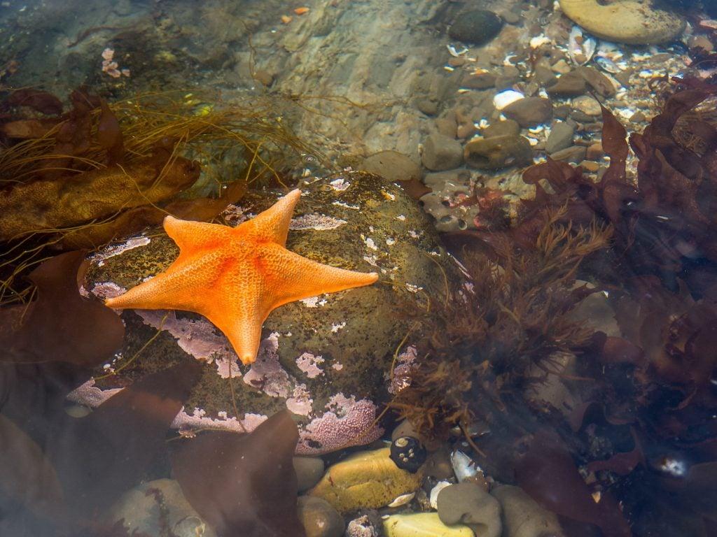 Big orange starfish on a rock under the water