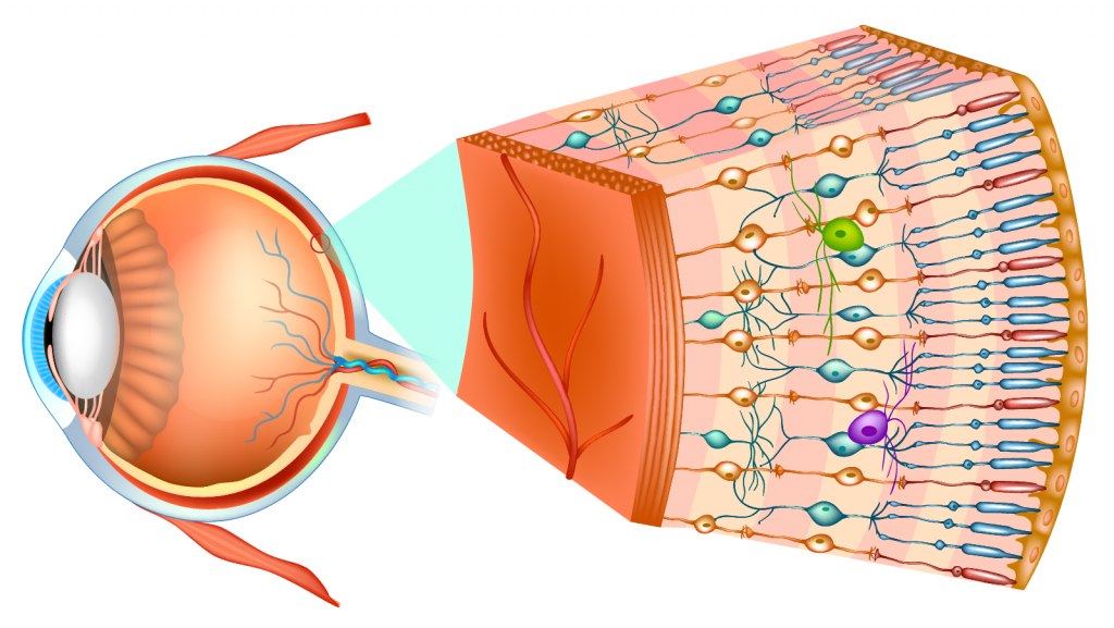 Structure of the human eye and organization of the optic part of the retina