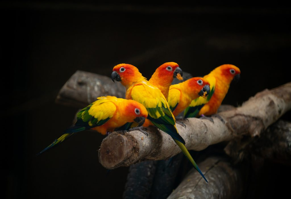 Group of sun conure parrots sitting on a thick cut branch dark background so the yellow, orange and green colors pop