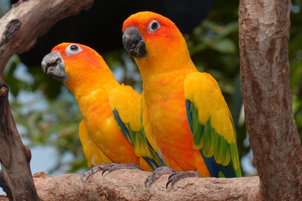 Closeup of two sun conures sitting in a tree