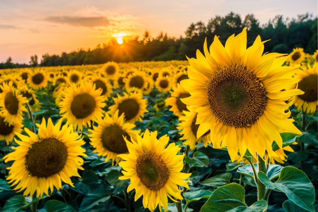 Normal view of sunflower field with the sun setting in the background
