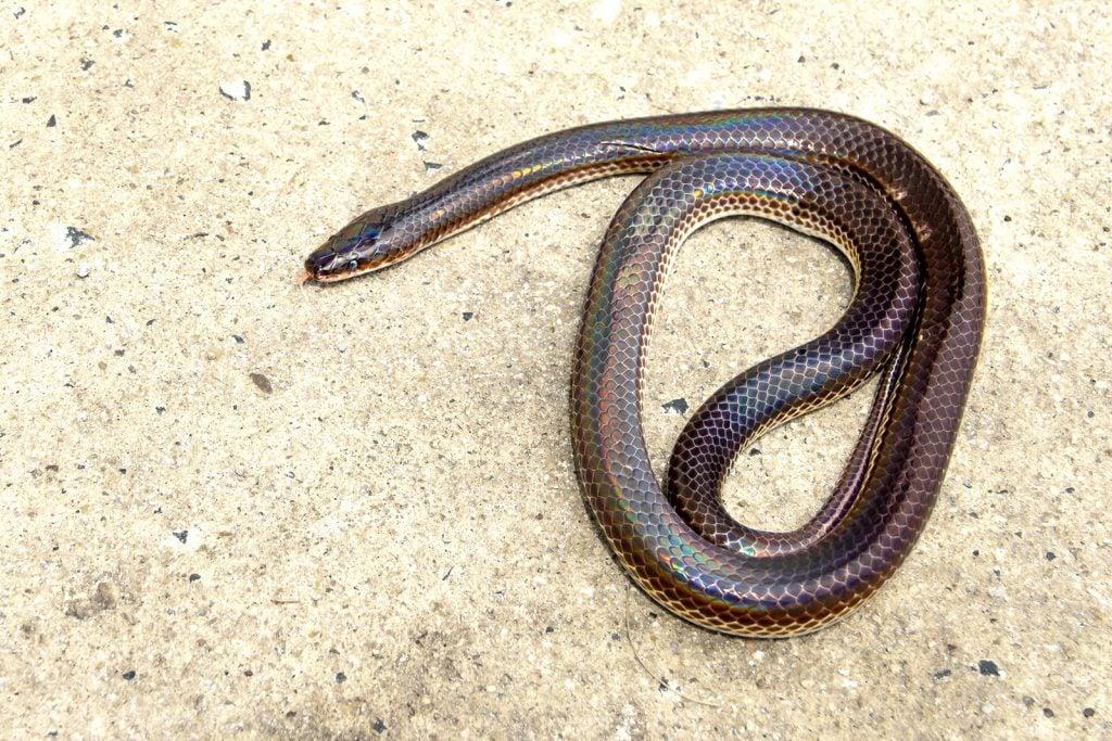 Sunbeam snake aka Xenopeltis Unicolor on the ground