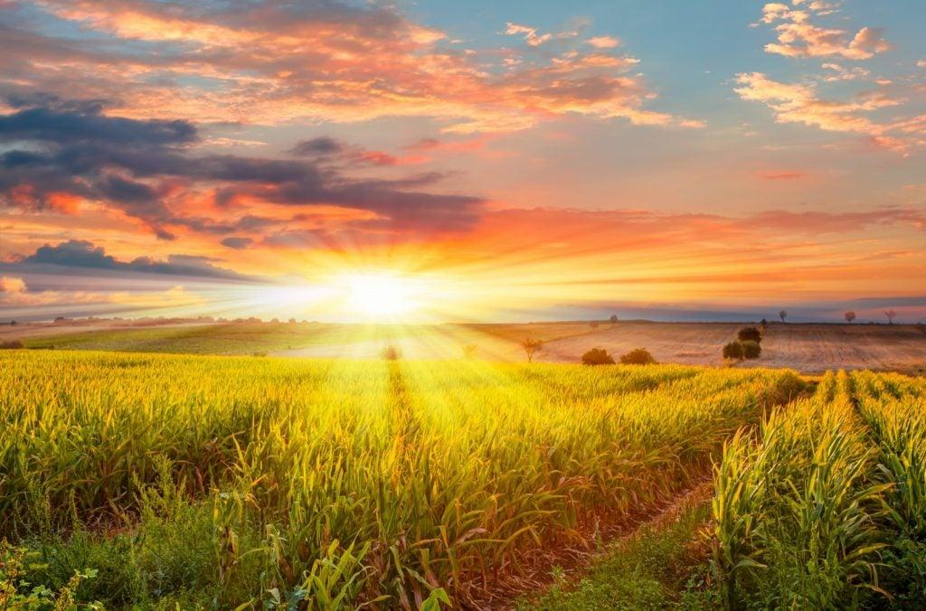Bright sunrise over a cornfield