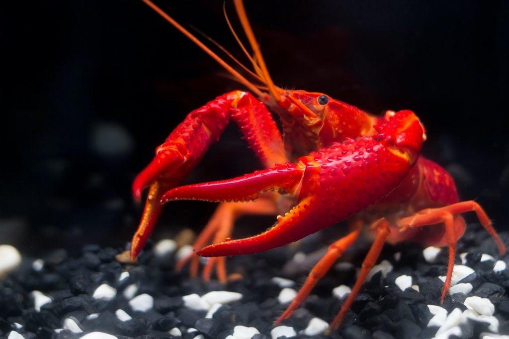 Super red crawfish or crayfish in aquarium